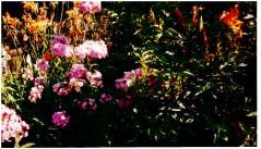 Garden Phlox and Lilies