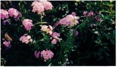 Moms Garden Phlox